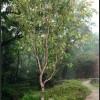 大量八月桂、四季桂、黄蜡石等园林常用素材