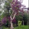 出售大量红花继木