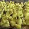 常年大量鹅雏