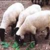 种牛,夏洛莱牛,肉牛改良,品种羊羔,育肥肉羊