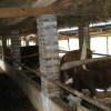 杂交牛,利木赞牛,夏洛莱牛,小尾寒羊,山东种羊,山西肉羊