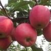 大量果树苗木苹果苗 核桃苗 樱桃苗 桃树苗