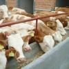 肉牛价格,肉牛养殖,西门塔尔牛,育肥羊羔,肉羊