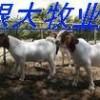 小尾寒羊,小羊羔,波尔山羊种羊养殖场