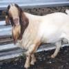 肉牛养殖,牛犊,夏洛莱牛,鲁西黄牛,小尾寒羊,毛驴,利木赞牛