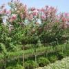紫薇 红花紫薇、金绣菊、流苏、乌桕、榉树