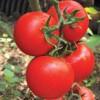 国内/外优良大粉果番茄种子(图)