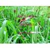 黄石金旺煌虫养殖基地 :大量东亚飞蝗,价格从优
