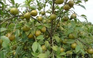 福建无性系高产油茶 三明新品种油茶 泰宁良种油茶