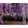 福缘绿化基地紫藤