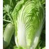 优质大白菜