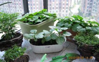 真开心阳台种植蔬菜