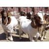 波尔山羊 小尾寒羊 肉牛肉驴