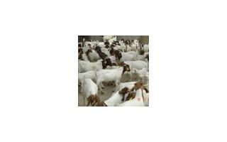 养殖波尔山羊 小尾寒羊 圈养羊 放养羊