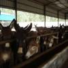 养肉驴养殖场买肉驴养殖场就找诚信企业-山东祥合牧业