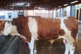 西门塔尔牛 育肥牛 架子公牛 菜母牛 基础母牛  小公牛