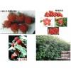 正规优良树莓新品种
