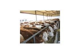 润吉肉牛,小尾寒羊养殖基地供应育肥西门塔尔牛肉牛犊,肉羊