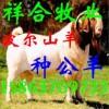 肃宁县哪里有卖小羊的养羊场/河北南皮县什么地方卖波尔山羊