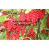 北五味子-红珍珠2号  五味子苗  五味子种苗