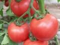 优质番茄种子 (10图)