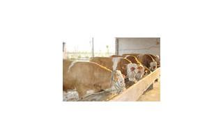 润吉良种肉牛肉驴养殖繁育场供西门塔尔,德州驴,三粉驴