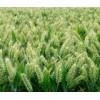 百农矮抗58小麦种子