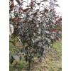 出售2-3年生紫叶海棠苗,王族海棠苗,6 年生紫叶海棠