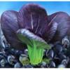 保健蔬菜 紫叶油菜种子 紫油菜