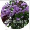 售:蓝花楹种子,蓝雾树种子,假一罚十