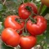 大量供应优质西红柿