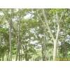 供应南京雪松,朴树,榉树,榔榆,栾树,乌桕,枫杨,皂角