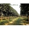 大量供应桂花树、桂花、红枫、香樟、银杏