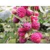 大果型双季树莓苗 树莓 黑树莓苗 红树莓苗 灯笼果苗
