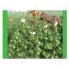 棉花种子—宇杂棉三号