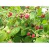 树莓(美国)双季树莓苗 (英国)双季树莓苗