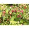 双季树莓苗,树莓苗,红树莓,双季树莓,树莓价格,树莓品种