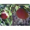 售红南果梨树码和树苗