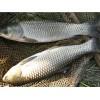 供应草鱼 纯青草喂养的生态鱼