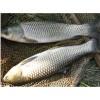 大量供应鲫鱼,鲤鱼,草鱼,花白鲢
