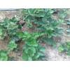 2012大量供应成活率高的优质草莓苗