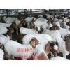 供应【波尔山羊】原种群量多看货下单包运输