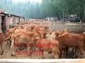 肉牛【鲁西黄牛】 (2图)