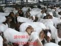 肉羊图片大全 (5图)