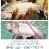 纯天然水库鱼-绿色无公害的农家鱼有机鱼