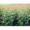出售北美系列海棠苗,王族海棠苗,光辉海棠苗,西伯利亚红海棠苗