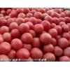 供应粉红西红柿