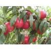 晚秋黄梨苗,甜柿苗,油桃苗,矮化苹果苗
