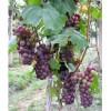 7月20号开始大量供应巨峰美人指红提葡萄