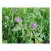 牧草种子 紫花苜蓿种子